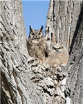 New Sectiongreat Horned Owl and Baby