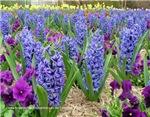 2706 Hyacinths, Daffodils, Pansies