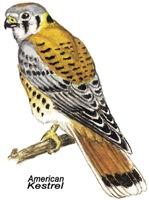 American Kestrel Bird