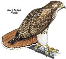 Red-Tailed Hawk Bird
