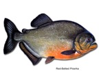 Red-Bellied Piranha Fish