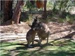 kangaroo mum tickles me