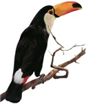 Toco Toucan