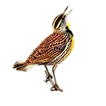 Meadowlark