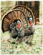 Two Turkey Gobblers Wildlife Birds