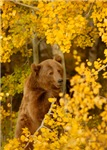 Autumn Grizzly Bear