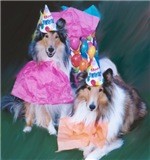 Birthday Collies