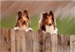 Peeking Collies