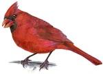 perched red cardinal