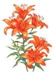 Orange Daylilies
