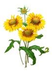 Gaillardia or Sunflowers by Redoute