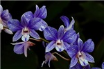 Lovely Blue Orchids