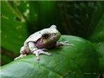 treefrog II