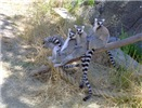 Lemur Line