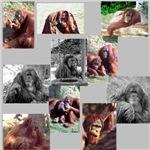 Orangutan Photo Gifts
