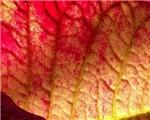Wrinkled Leaf