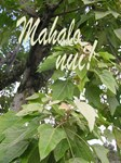 Mahalo (Thank you)