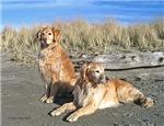Golden Retriever Dogs <br> Wall Calendars