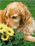 Golden Retriever Smelling the Flowers