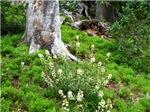 Floraful (Fall River Road, CO)