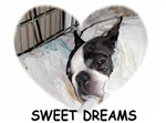 sleeping boston terrier