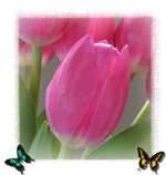 Spring Tulips and Butterflies