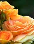 Romantic Peach Roses