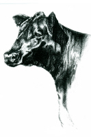 Angus Cow 