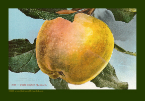White Winter Pearmain Heirloom Apple 