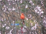 Red Cardinal in Cherry Blossoms