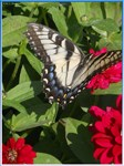 Swallowtail butterfly, photo