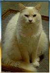 White cat, animal photo