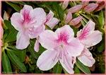Azaleas! Pink spring flowers!