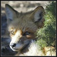 FOX T-SHIRT & GIFTS