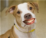 Pit Bull with Lipstick