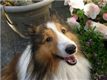 Laughing Sheltie