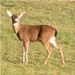 Forked Horn Buck
