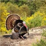 Wild Turkey Gobbler