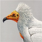 Louis Agassiz Fuertes' Egyptian Vulture