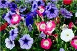 Happy Summer Petunias