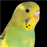 Parakeet 1 Steve Duncan