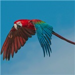 Green-winged Macaw Duncan