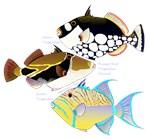 3 Triggerfish