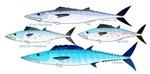 4 Atlantic Mackerels