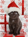 Christmas Kitten Cards