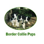 Border Collie Puppies products