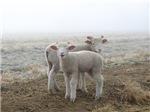 Frosty Lambs