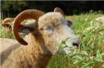 Contented Ewe