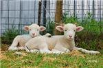 Buddy Lambs