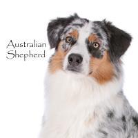 Australian Shepherd
